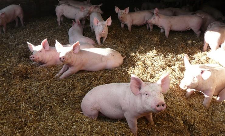 Le projet de développement de la filière « Porc authentique élevé sur paille » en Ille-et-Vilaine a été soutenu l'an passé par le Département (15 000€)