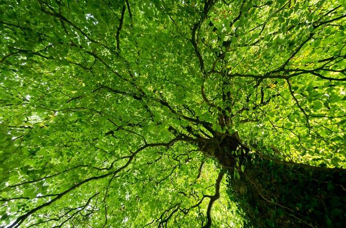 hêtre, bois de Rumignon, Saint-Aubin-du-Cormier
