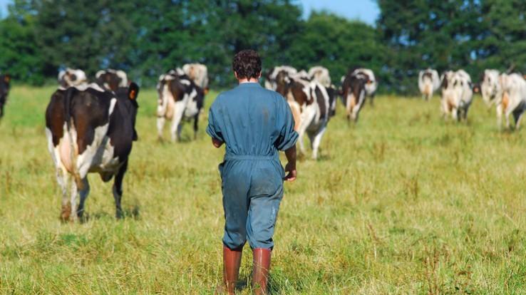 Agriculteur dans un champ avec ses vaches