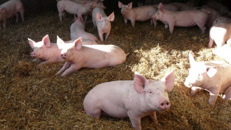 Le projet de développement de la filière « Porc authentique élevé sur paille » en Ille-et-Vilaine a été soutenu par le Département (15 000€)