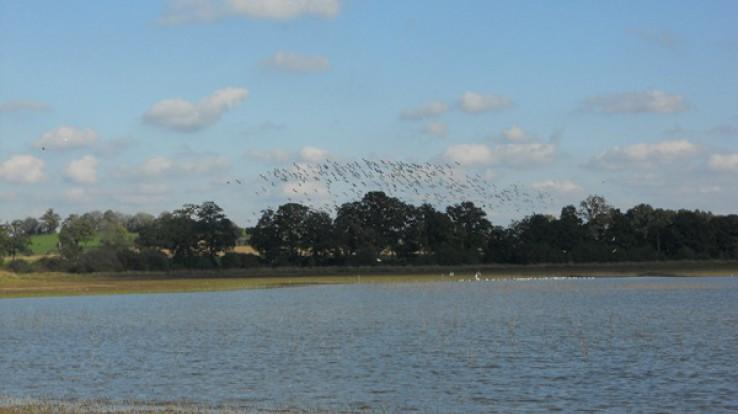 Envol d'oiseaux dans la réserve ornithologique, étang de Châtillon-en-Vendelais