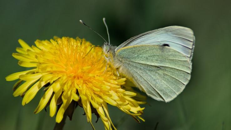 Image : Sympetrum rouge-sang, libellule typique des zones humides