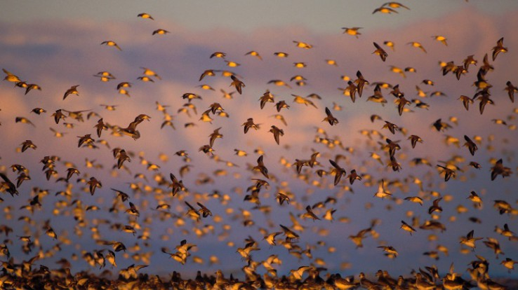 Vol de limicoles au large de l'île Besnard © E. Berthier