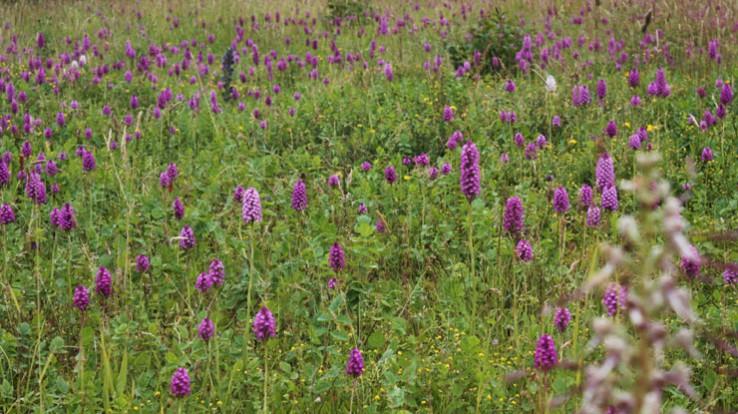 Prairie calcaire à orchidées, site de Lormandière, Chartres-de-Bretagne