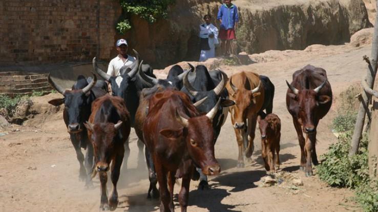 Le Département s'est engagé dans un projet d'amélioration de la filière laitière à Madagascar