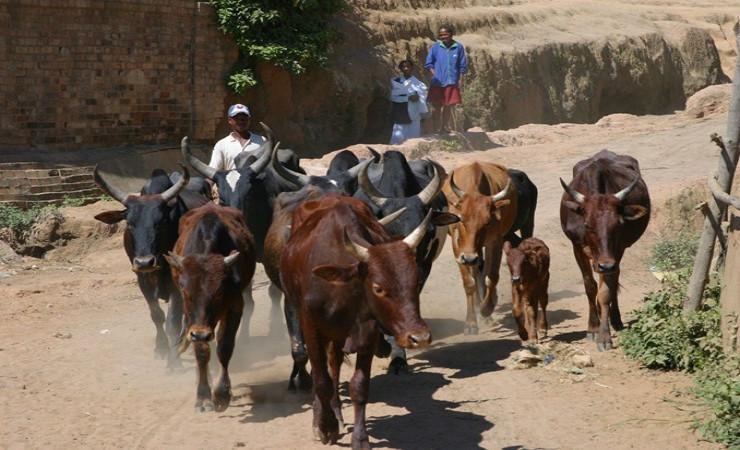 Le Département s'est engagé dans un projet d'amélioration de la filière laitière à Madagascar © CG35