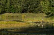 Héron cendré, étang de Paimpont